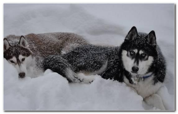 Image Alaskan Husky The Siberian Husky Alaskan Klee Kai Dog Like Mammal Sled Dog