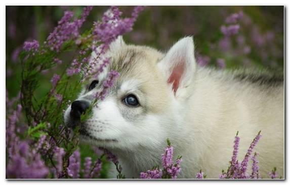 Image Alaskan Klee Kai Puppy Dog Like Mammal Saarloos Wolfdog Alaskan Malamute   Copy