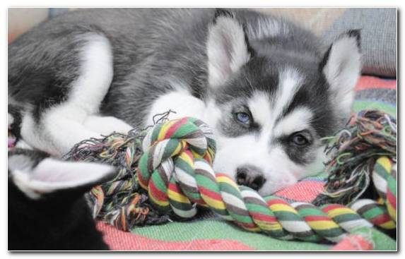 Image Alaskan Klee Kai Sakhalin Husky Puppy Dog Siberian Husky