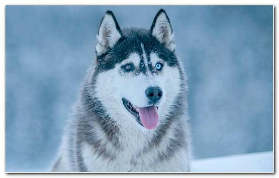 Image Alaskan Malamute Husky Tamaskan Dog Sakhalin Husky Alaskan Husky