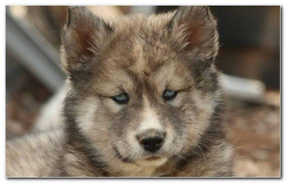 Image Alaskan Malamute Puppy Face Siberian Husky Czechoslovakian Wolfdog Sakhalin Husky
