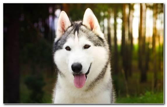 Image Alaskan Malamute The Siberian Husky Dog Snout Sakhalin Husky