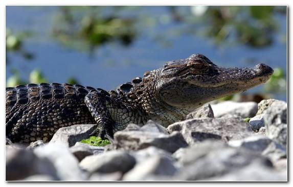 Image Alligator Reptile Gharial Nile Crocodile American Alligator