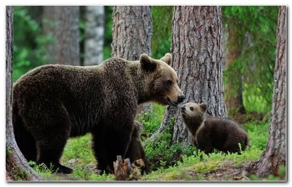 Image American Black Bear Terrestrial Animal Wildlife Painting Brown Bear