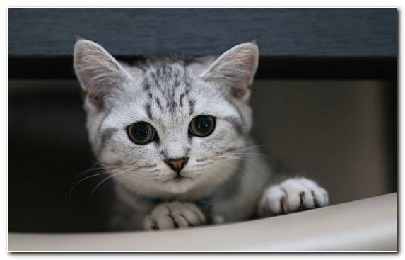 Image American Shorthair Cat Dragon Li European Shorthair Small To Medium Sized Cats