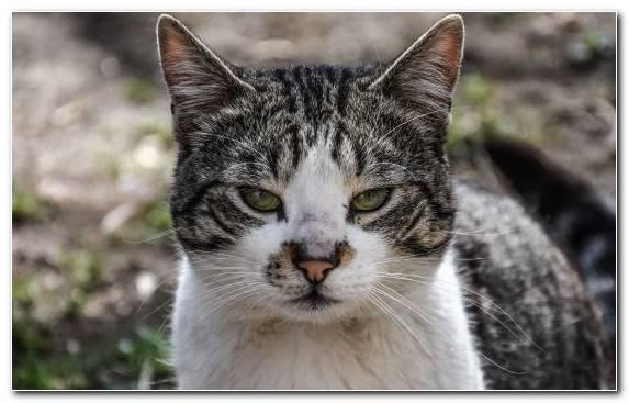 Image American Shorthair Wildcat Savannah Cat Fauna Siamese Cat   Copy