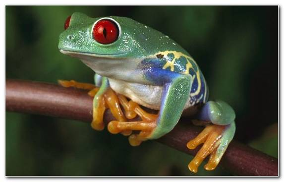 Image Amphibian Red Eyed Tree Frog Macro Photography Terrestrial Animal Frog