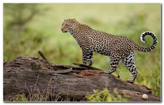 Image Amur Leopard Desert Jaguar Big Cat Leopard