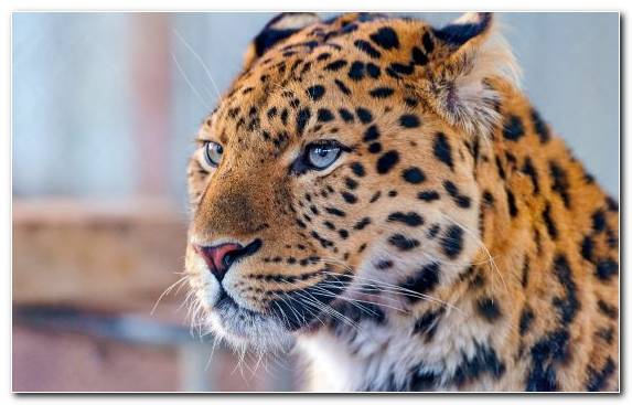 Image Amur Leopard Persian Leopard Indian Leopard African Leopard Wildlife