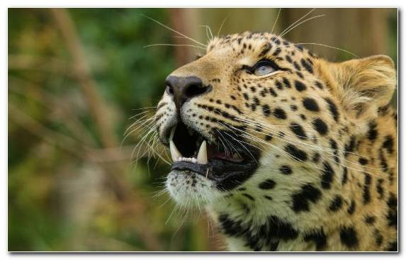 Image Amur Leopard Wilderness Big Cat Cheetah Teeth   Copy