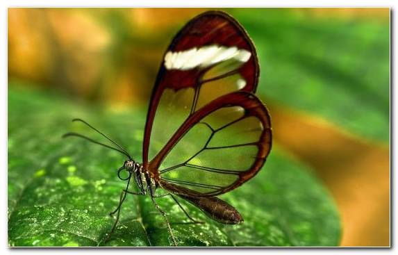 Image Android Animation Lycaenid Brush Footed Butterfly Invertebrate