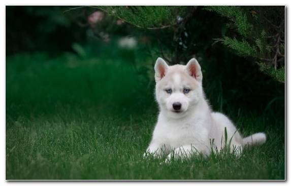 Image Animal Alaskan Husky Dog Like Mammal Pungsan Dog Alaskan Malamute