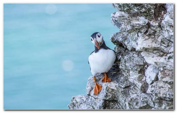 Image Animal Atlantic Puffin Seabird Charadriiformes Water Bird