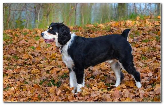 Image Animal Dog Breed Group Autumn Cuteness English Springer Spaniel   Copy