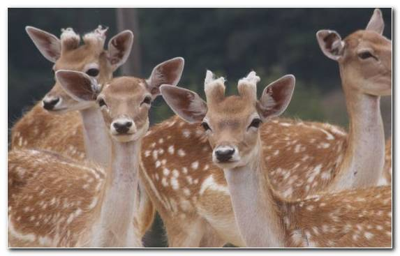 Image Animal Fawn Wildlife Snout Deer