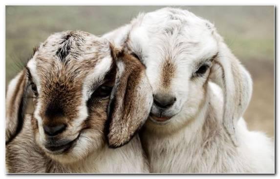 Image Animal Goat Snout Livestock Horn