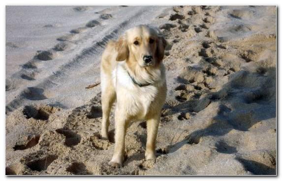 Image Animal Golden Retriever Miniature Schnauzer Dog Breed Snout