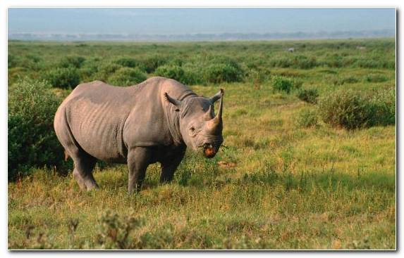 Image animal grazing rhinoceros grassland nature reserve