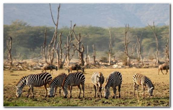 Image Animal Herd Terrestrial Animal Grazing Wilderness