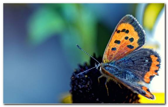 Image Animal Invertebrate Moths And Butterflies Butterfly Pollinator