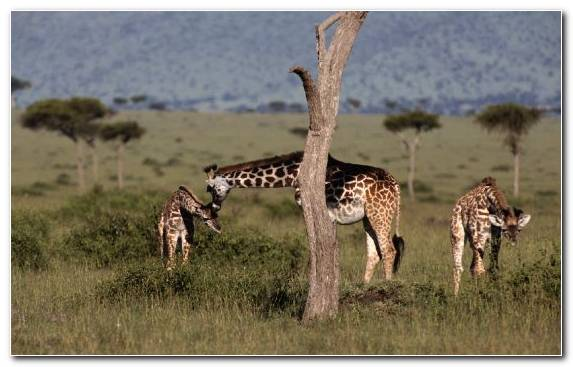 Image Animal Leopard Cheetah Terrestrial Animal Giraffe