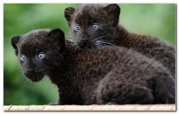 Image Animal Leopard Wildlife Black Panther Fauna