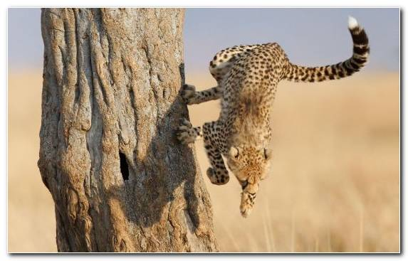 Image Animal Leopard Wildlife Hunting Big Cat