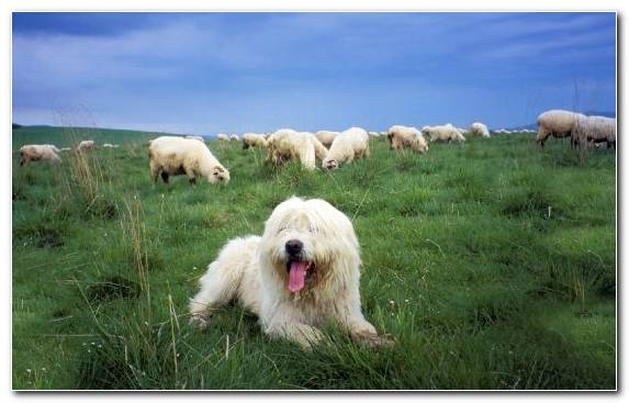 Image Animal Polish Lowland Sheepdog Puppy Polish Tatra Sheepdog Old English Sheepdog