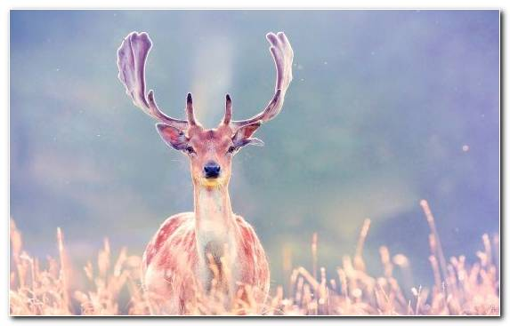 Image Animal Red Deer Snout Deer Wildlife