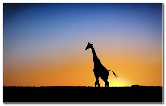 Image Animal Savanna Silhouette Giraffe Ecoregion