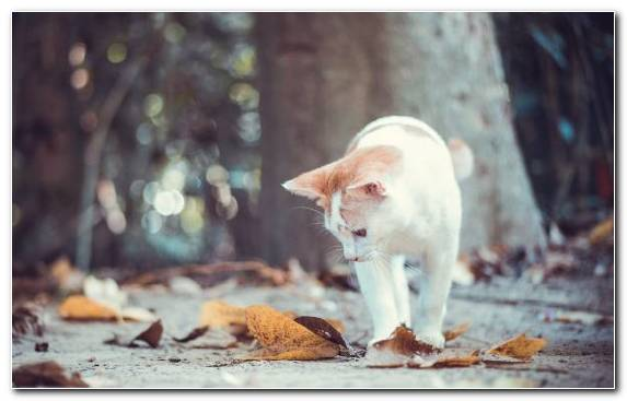 Image Animal Siamese Cat Snout Whiskers Bokeh