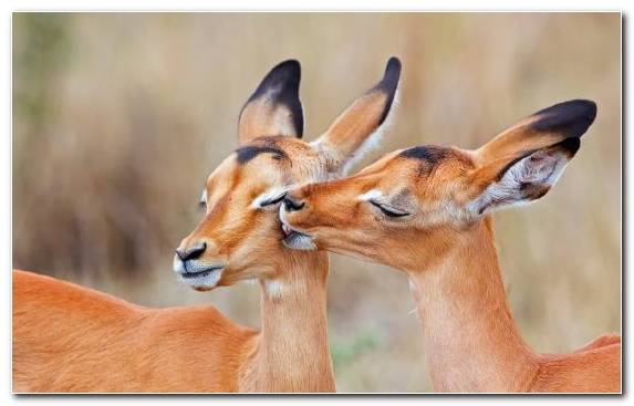 Image Animal Snout Impala Springbok Wildlife
