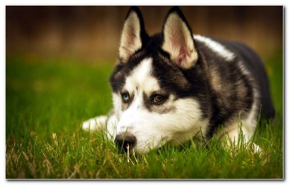 Image Animal Tamaskan Dog Husky Breed Dog Breed