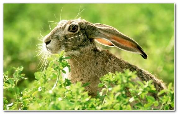 Image Animal Terrestrial Animal European Hare Ear Rabits And Hares