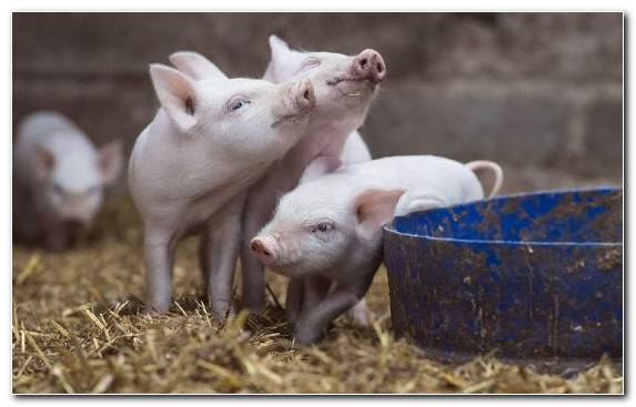 Image Animal Terrestrial Animal Pig Livestock Snout