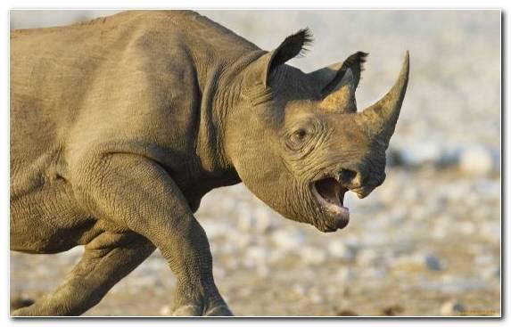 Image Animal Terrestrial Animal Snout Wildlife Rhinoceros