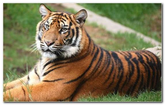 Image Animal Terrestrial Animal Wilderness Siberian Tiger Omnivore