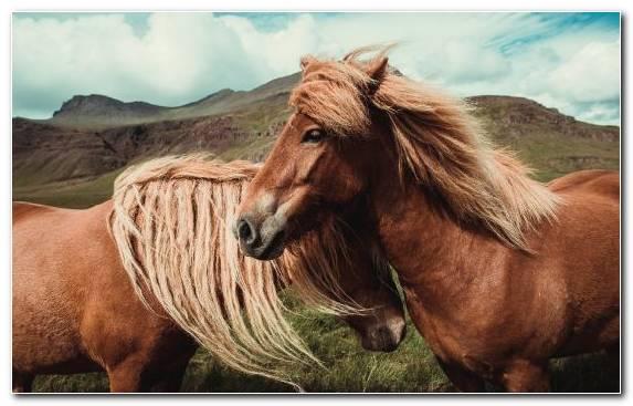 Image Animal Wild Horse Pasture Equestrian Icelandic Horse