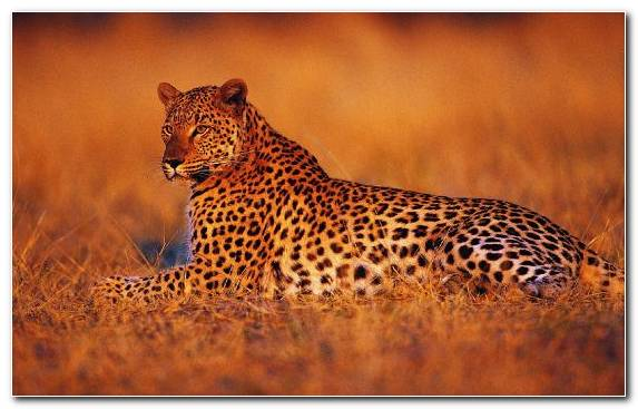 Image Animal Wilderness Terrestrial Animal Big Cats Cheetah