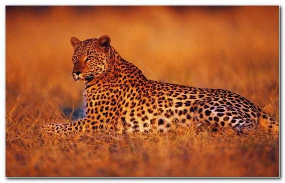 Image Animal Wilderness Terrestrial Animal Big Cats Cheetah