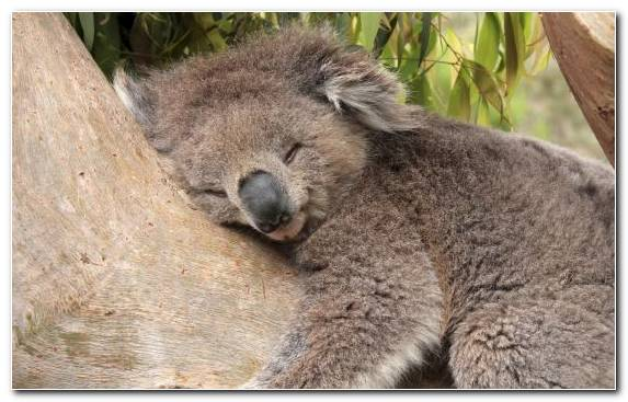 Image Animal Wildlife Australia Snout Marsupial