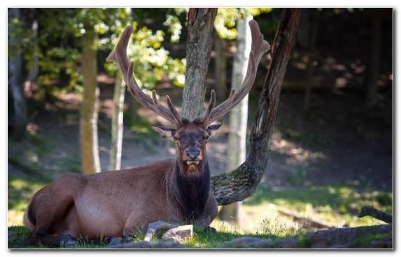 Image Antelope Horn Cat Elk Deer
