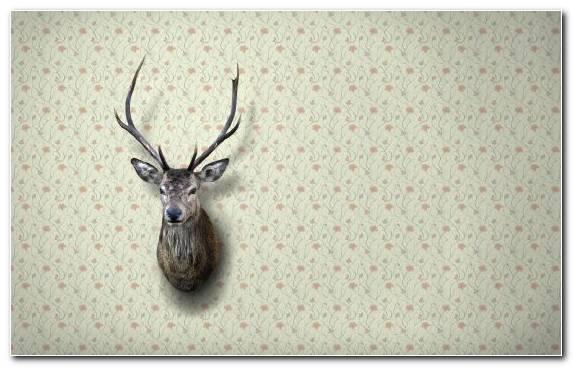 Image Antler Reindeer Wildlife Deer Wall