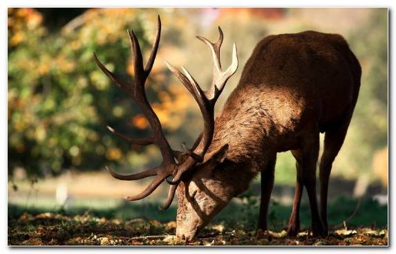 Image Antler Terrestrial Animal Wildlife Snout Deer