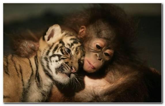 Image Ape Orangutan Tiger Falling In Love Monkey