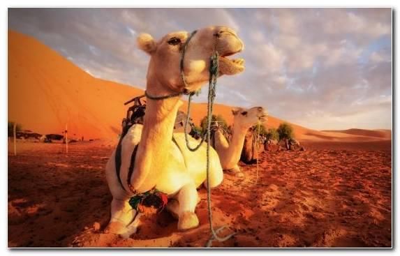 Image Arabian Camel Sand Ecoregion Sky Camel