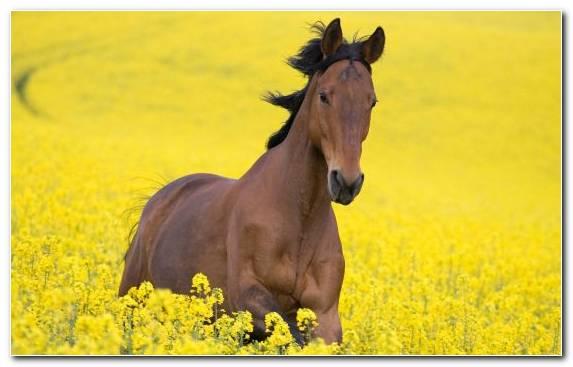 Image Arabian Horse American Miniature Horse Flower Friesian Horse Stallion
