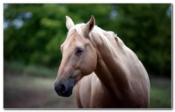 Image Arabian Horse Friesian Horse Mustang Horse White Horse Tack   Copy