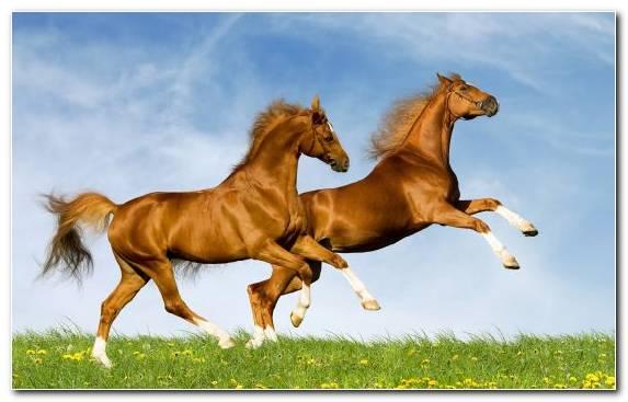Image Arabian Horse Grassland Pasture Grazing Horse