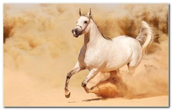 Image Arabian Horse Livestock Mane Mare Equestrian